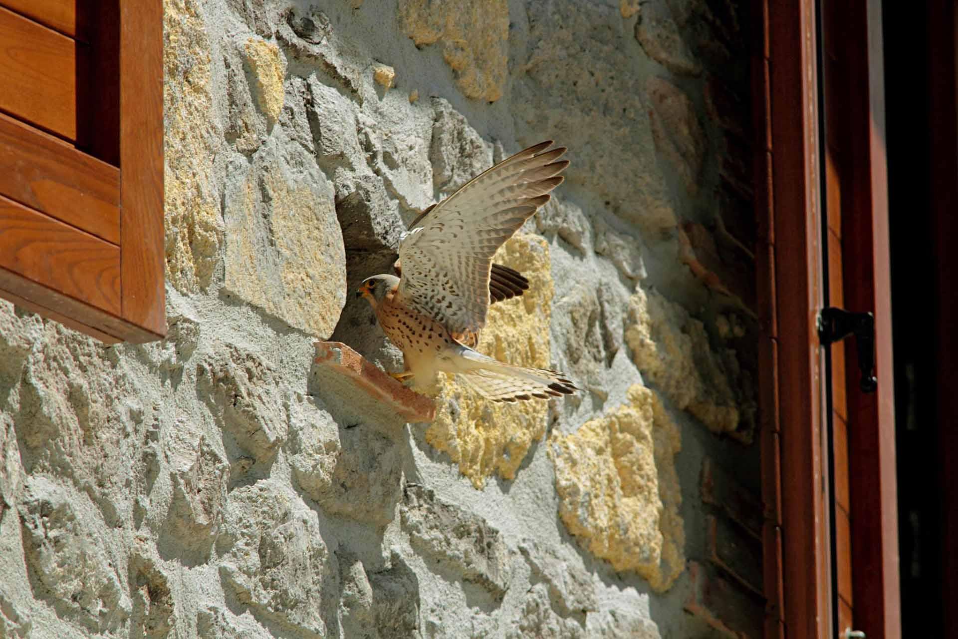 falco naumanni 4