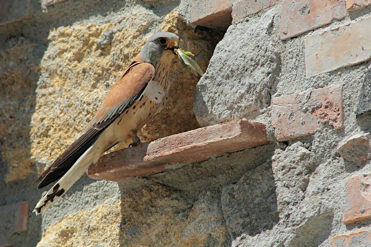 falco naumanni 6